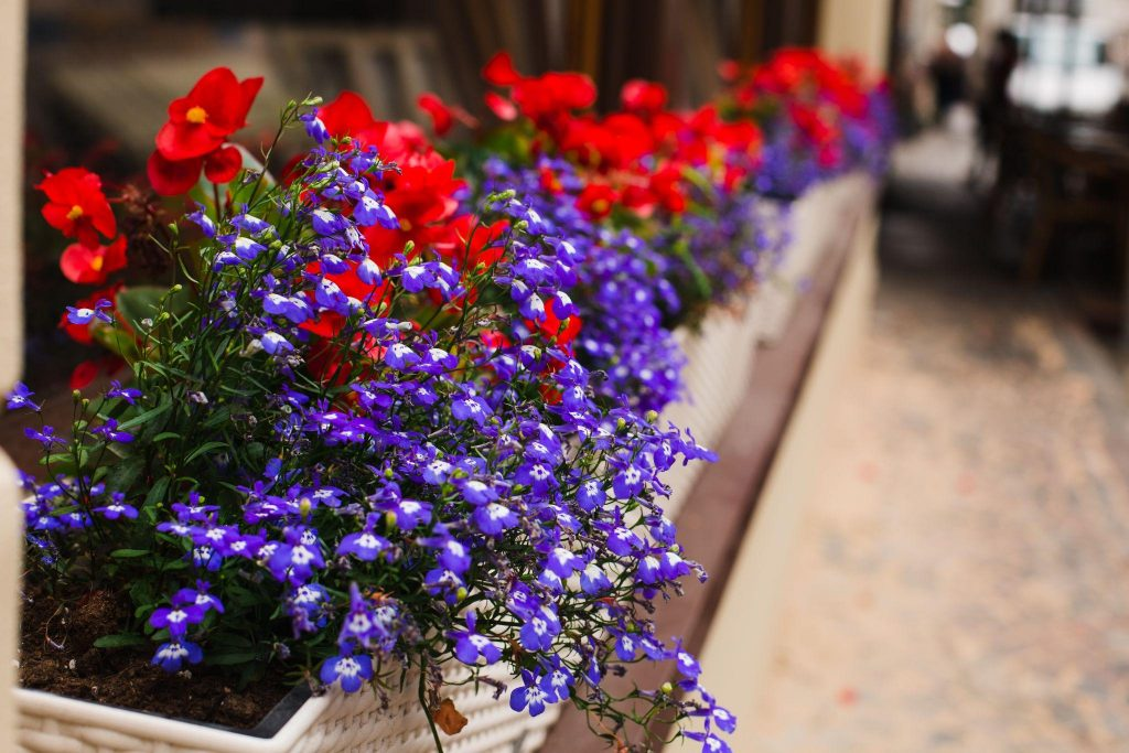 Lubelia violet flowers and red petunias petunias in the flowerbed in the city